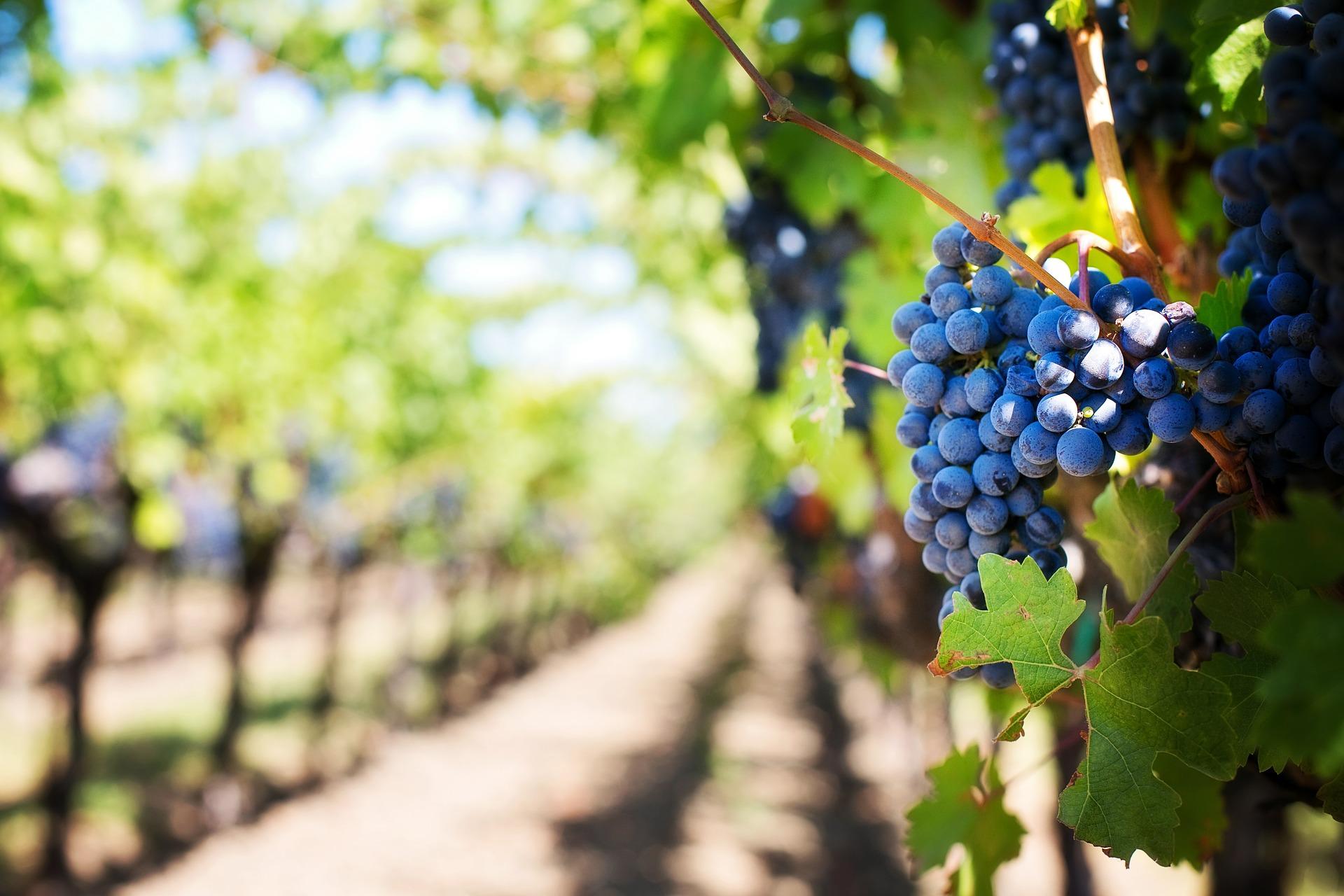 Les domaines viticoles à visiter